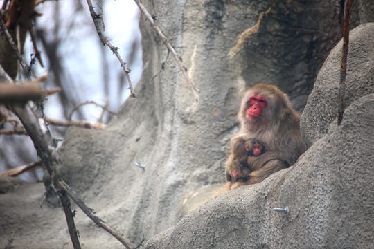 Japanese macaque born at the Detroit Zoo on April 23.