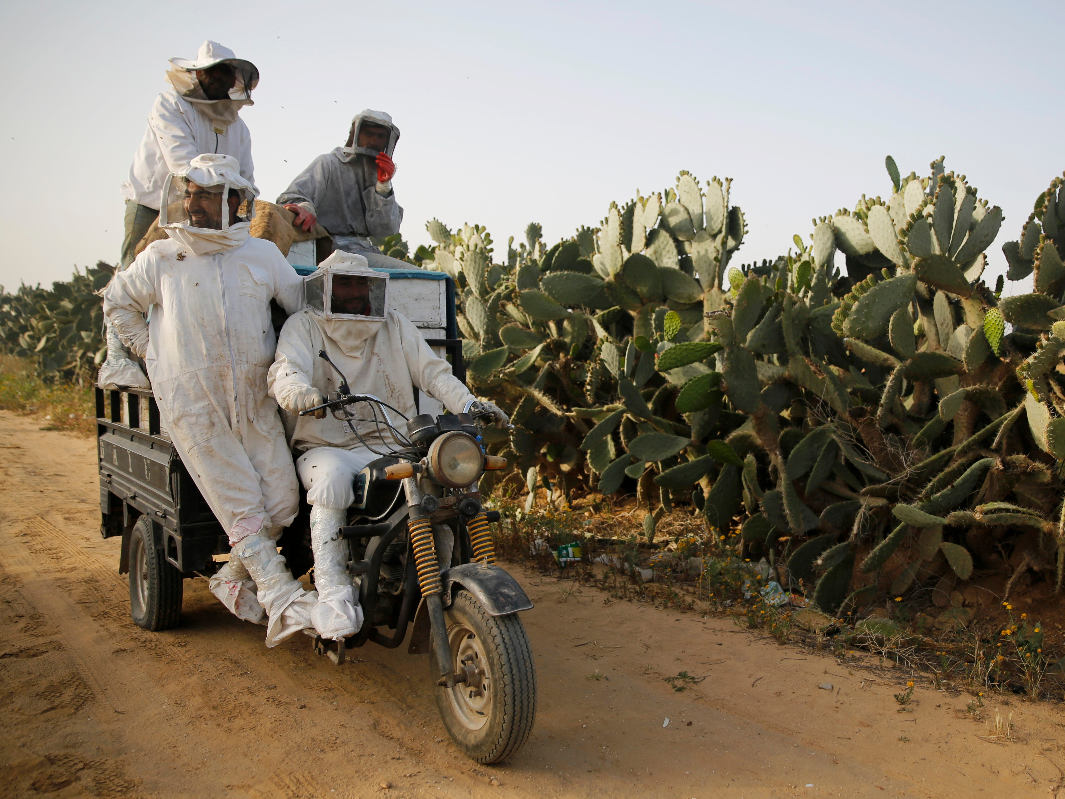 Palestinian beekeepers ride to a hive during a day harvesting honey in east Khan Younis near the border with Israel, Thursday, April 25, 2019.