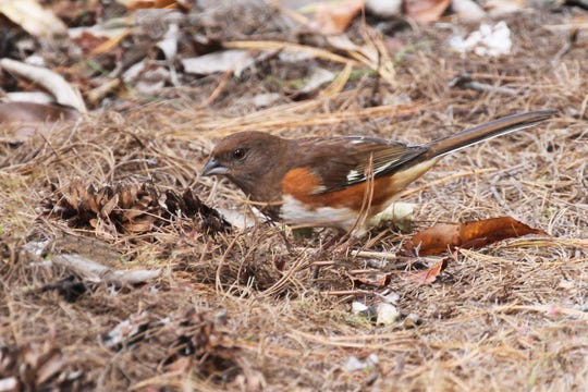 A female Eastern Towhee, following the habit of many ground-loving birds, scratches for insects hidden amid pine mulch, one of the safest, most bird-friendly mulches available.
