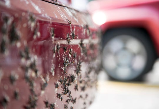 Love bugs are smashed on the front bumper of a minivan in downtown Fort Myers on Thursday, April 25, 2019.