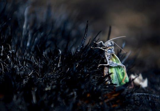 In this 2016 photo, a grasshopper looks for food in the charred foot print of a BLM prescribed burn in Phillips County.