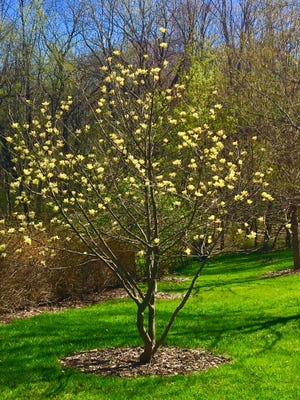 A yellow magnolia blooms brightly.