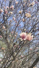 This saucer magnolia has grown for years on the grounds of Grant Wood's former Iowa City house.