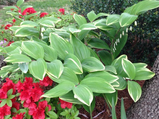 Variegated Solomon's seal is one of the most popular plants found at the sale.