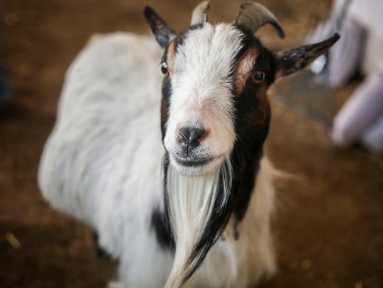 Lily the calming goat wanders around her barn on the backside of Churchill Downs on Wednesday, April 24, 2019. Helen Pitts-Blasi got Lily to help calm a horse that would nervously stall walk, and now she acts as a mascot for her barn.