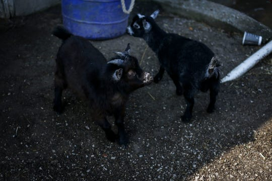 Baby goat Max, left, plays with his brother Oliver, right, in Brad H. Cox's barn on the backside of Churchill Downs on Wednesday, April 24, 2019.
