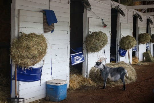 Trevor the calming goat hangs out in Bret Calhoun's barn on the backside of Churchill Downs in Louisville, Ky., on April 24. Trevor lost one of his horns in a barn accident.