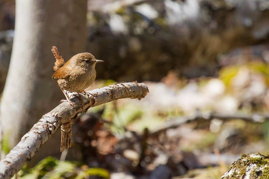 A winter wren at Woodland Dunes in Two Rivers.