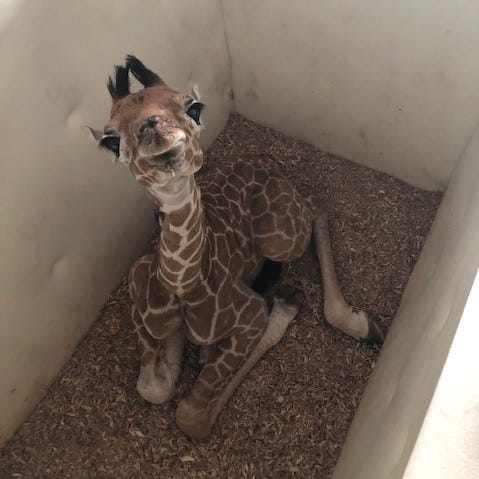 Ali the giraffe back at Memphis Zoo after leg fracture