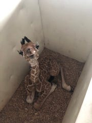 Ali the baby female giraffe is back at the Memphis Zoo after being born just days after Kiburi, a male giraffe was born.