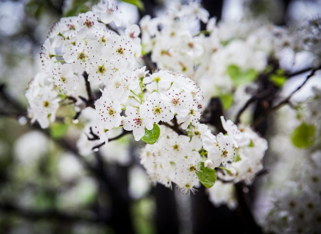An ornamental pear tree flowers on Ball State's campus Thursday.