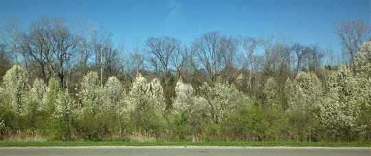 Ornamental pear trees (white flowers) invade a native woods, along with the invasive bush honeysuckle (underneath pear trees).