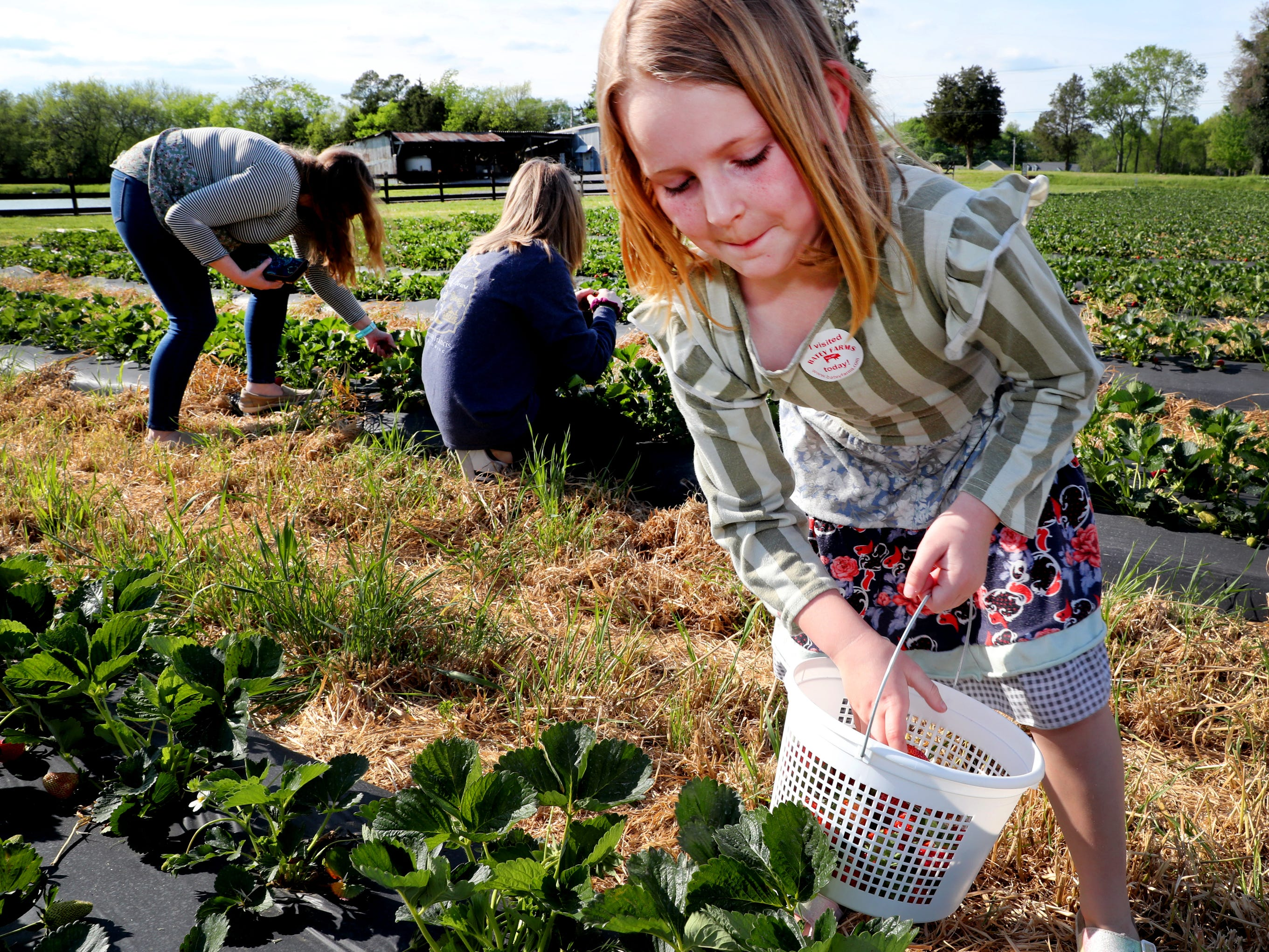 McKenna Davidson, 7, right picks strawberries on Wednesday April 24, 2019, at Batey Farms in Murfreesboro, as her mom Lynda Davidson, left and sister Morgan Davidson, 15, center pick from a different row.