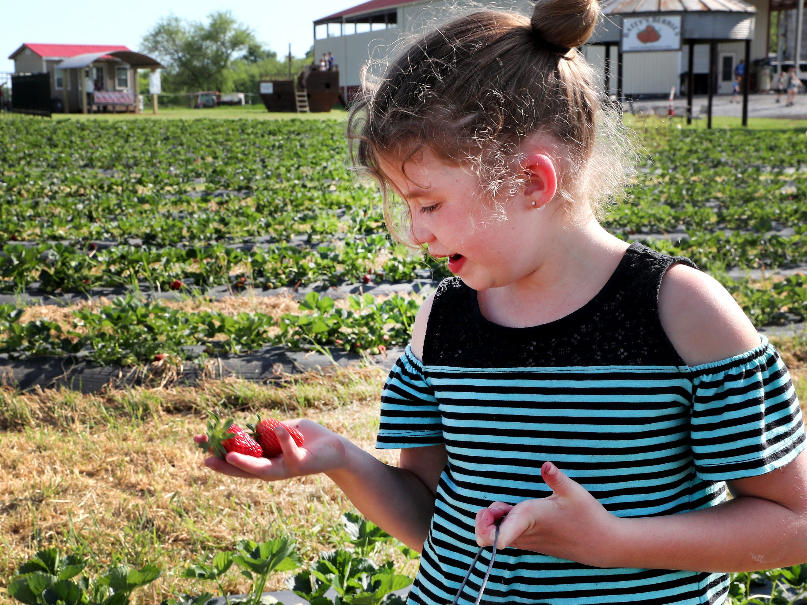 Ada Trotter, 7, fills her basket as she picks strawberries on Wednesday April 24, 2019, at Batey Farms in Murfreesboro.
