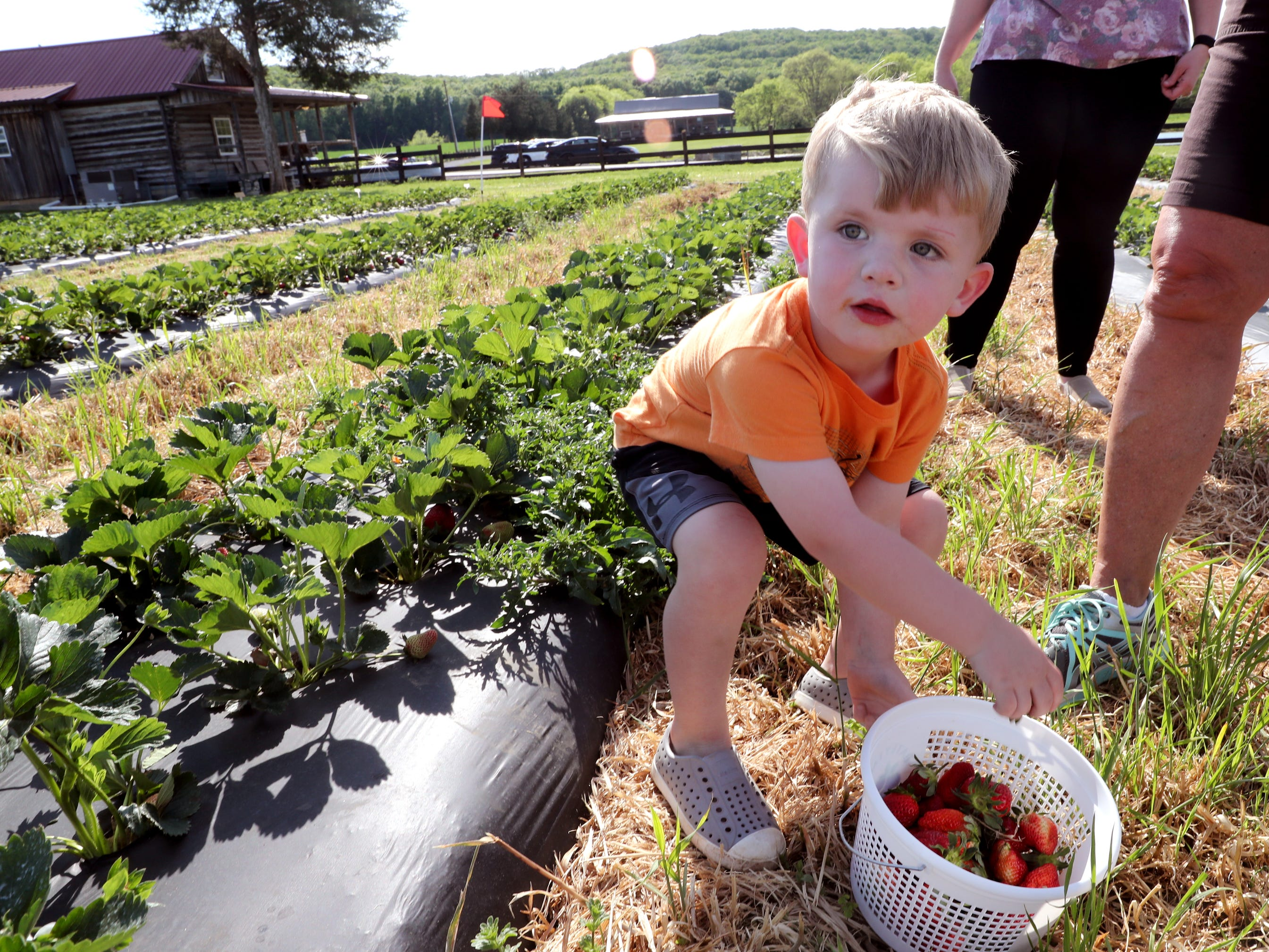 Rhett Trotter, 3, picks a basket of strawberries on Wednesday April 24, 2019, at Batey Farms in Murfreesboro.