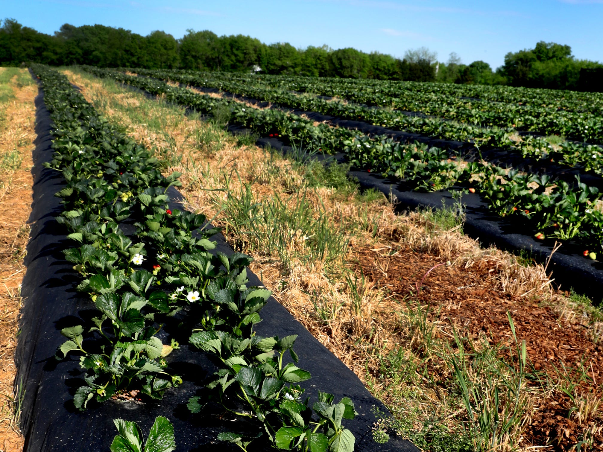 Batey Farms has rows an rows of large fresh strawberries ready to be picked on Wednesday April 24, 2019, at the 5331 Baker Road location in the Blackman area.