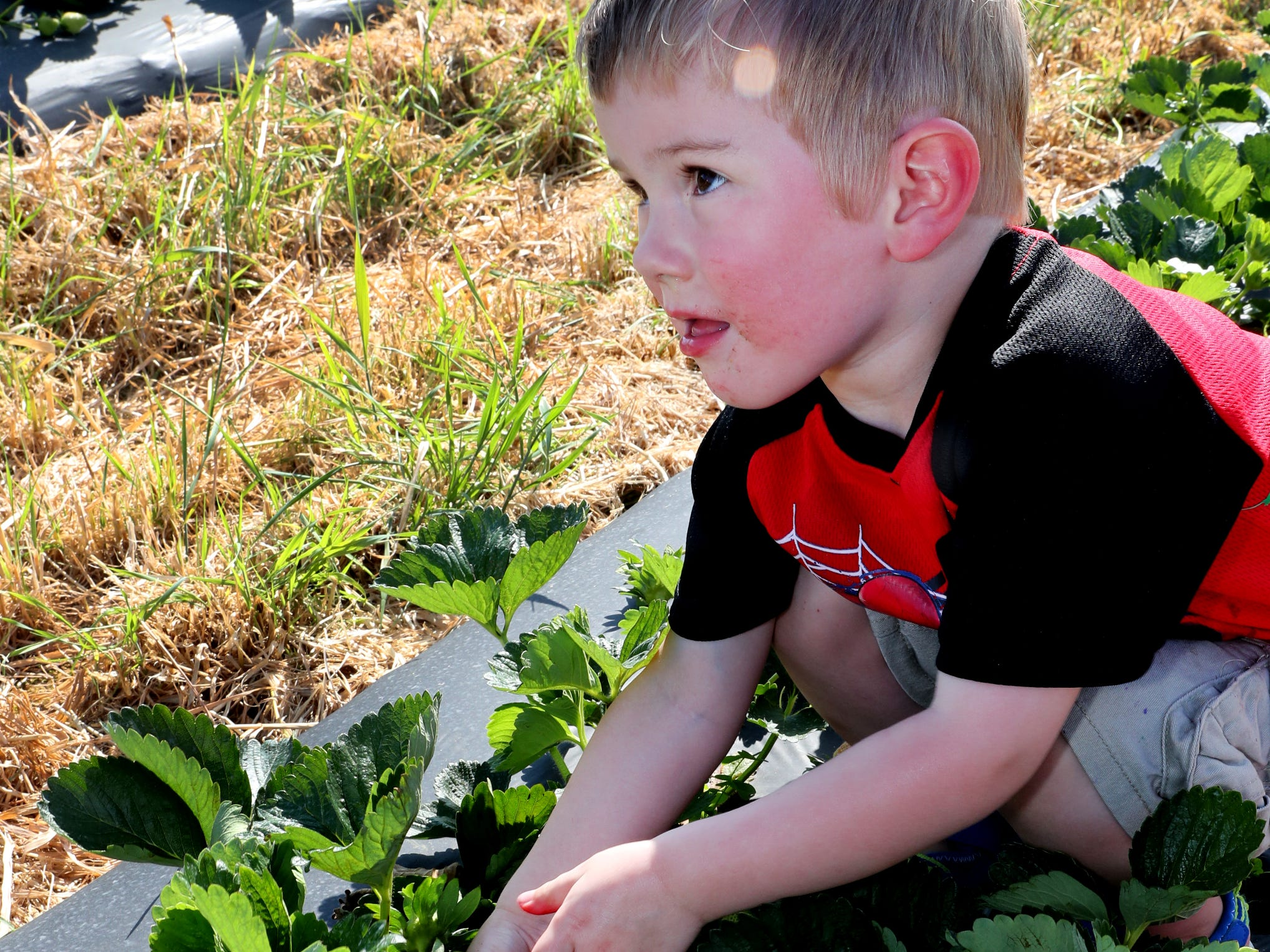 Roman Cooke, 2 1/2  pulls hard on a red strawberry before having to get help from his mom Simone Cooke on Wednesday April 24, 2019, at Batey Farms in Murfreesboro.