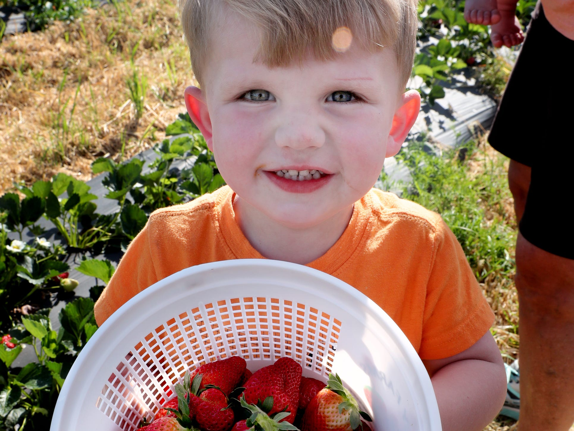 Rhett Trotter, 3, shows off his basket of fresh strawberries on Wednesday April 24, 2019, at Batey Farms in Murfreesboro.