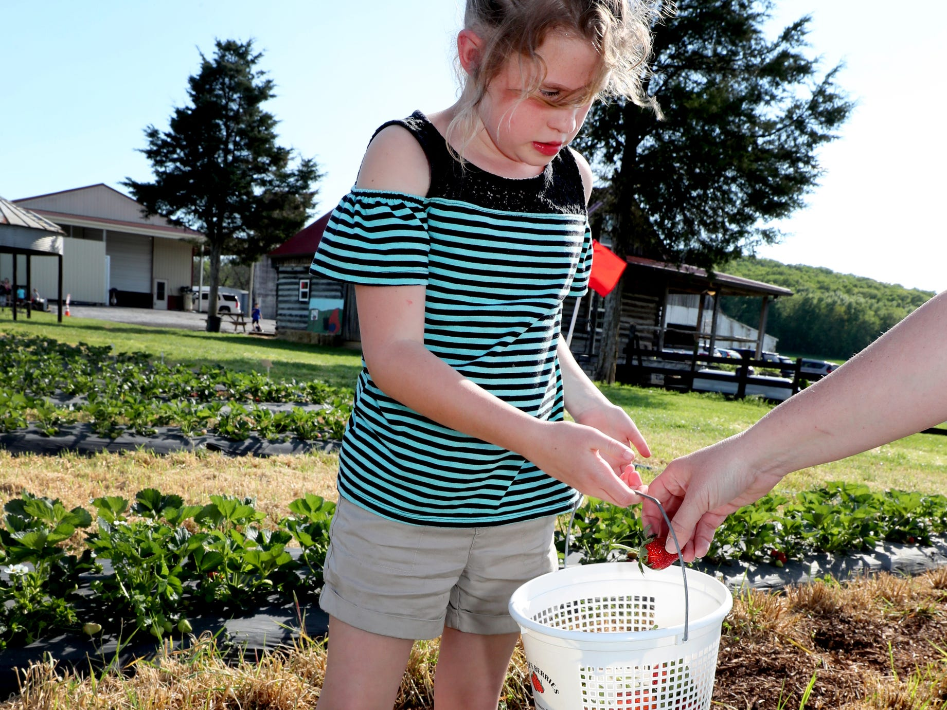 Ada Trotter, 7, has help from her mom Stevie Trotter filling her basket with strawberries on Wednesday April 24, 2019, at Batey Farms in Murfreesboro.