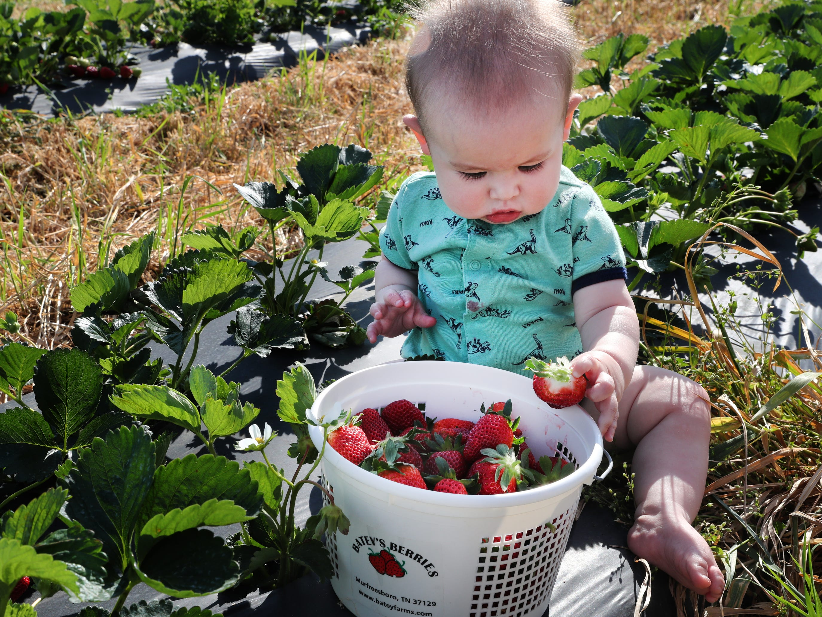 Tres Gonzalez, 8-months-old sits among the strawberry plants and he explores a basket of fresh picked strawberries on Wednesday April 24, 2019, at Batey Farms in Murfreesboro.