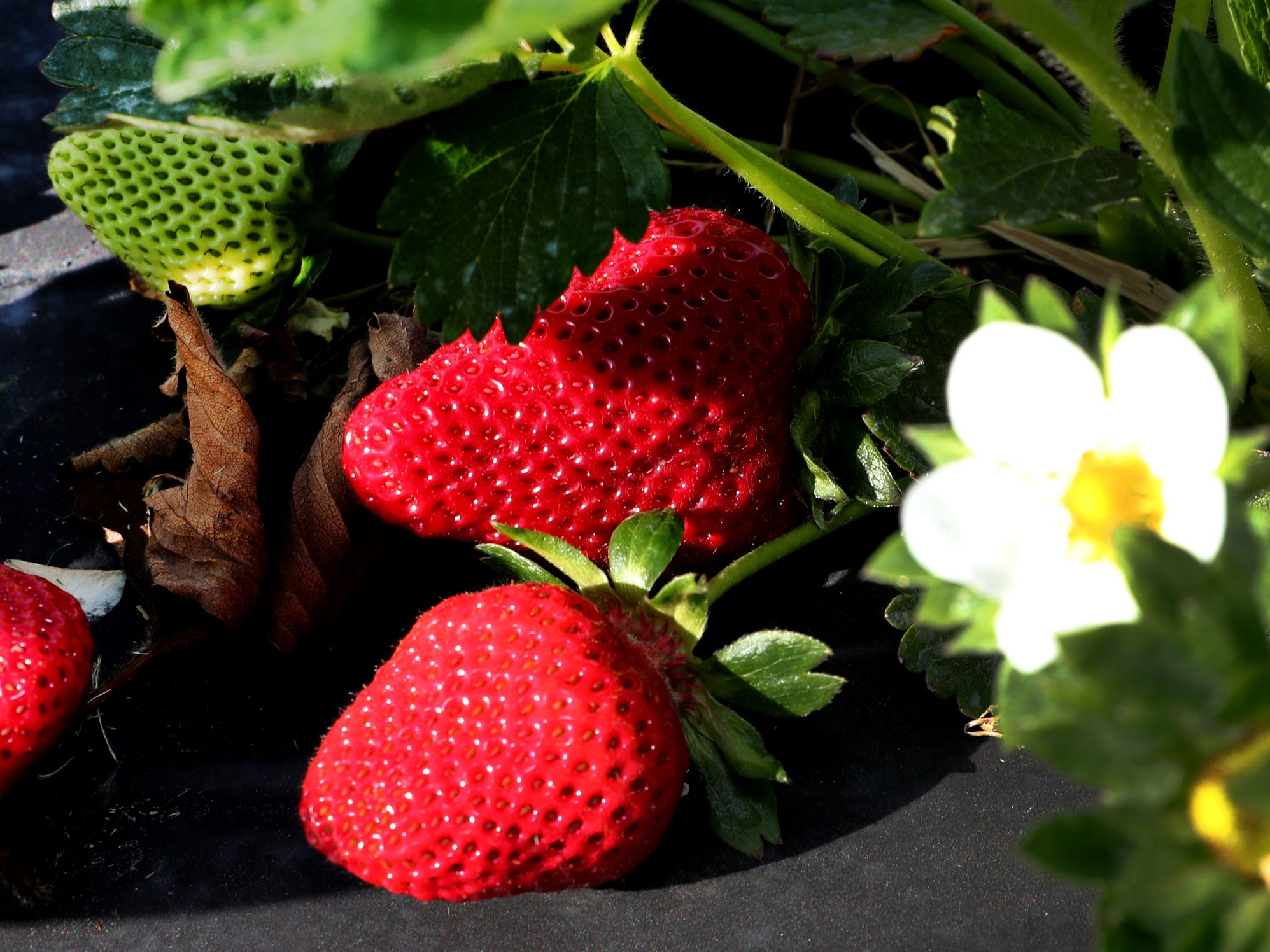 Batey Farms has large fresh strawberries ready to be picked on Wednesday April 24, 2019, at the 5331 Baker Road location in the Blackman area.