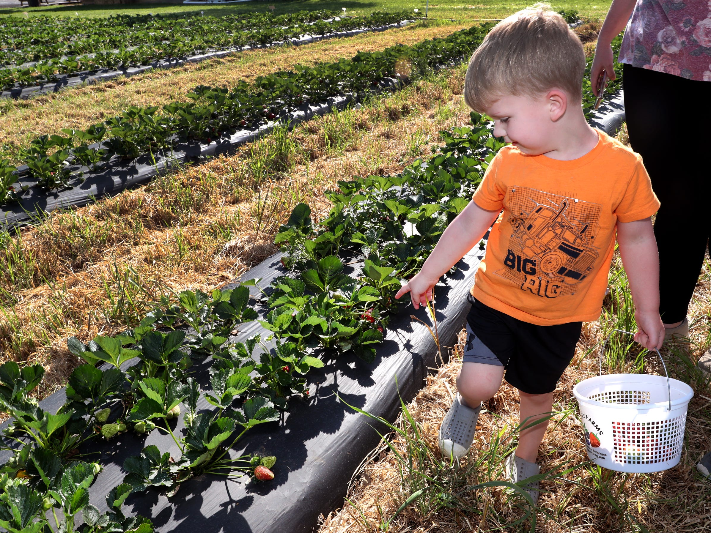 Rhett Trotter, 3, walks down a row of strawberry plants as he looks for large ripe strawberries to pick on Wednesday April 24, 2019, at Batey Farms in Murfreesboro.