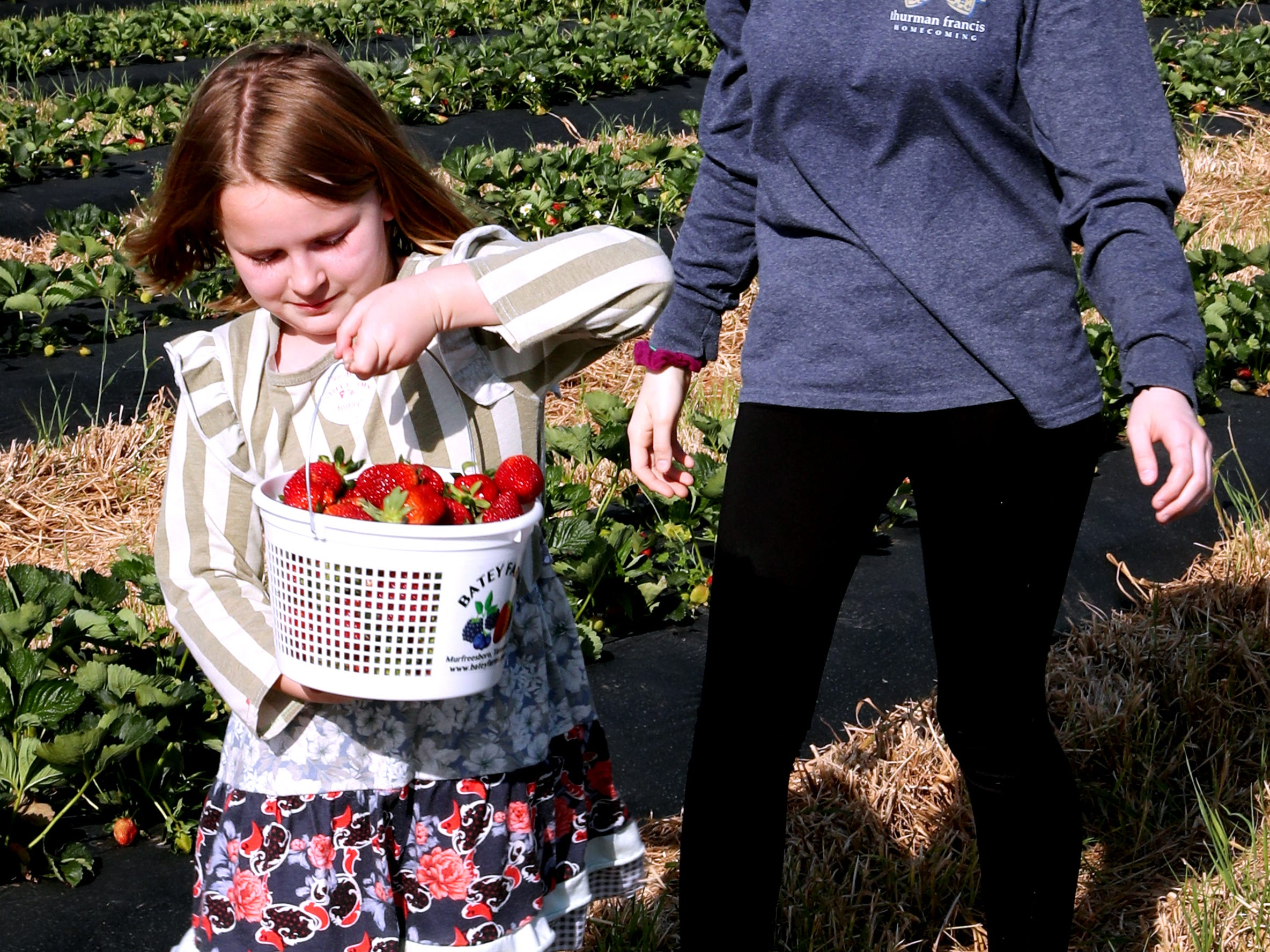 McKenna Davidson, 7, and her sister Morgan Davidson, 15 walk back up the row of strawberries after filling their basket  on Wednesday April 24, 2019, at Batey Farms in Murfreesboro.