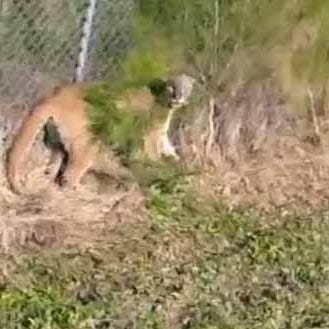 How an endangered Florida panther was guided to safety after getting stuck on the wrong side of a fence