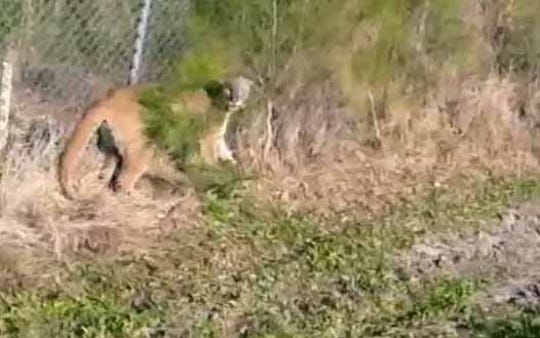 An endangered female panther was stuck on the wrong side of the fence on March 28, 2019.