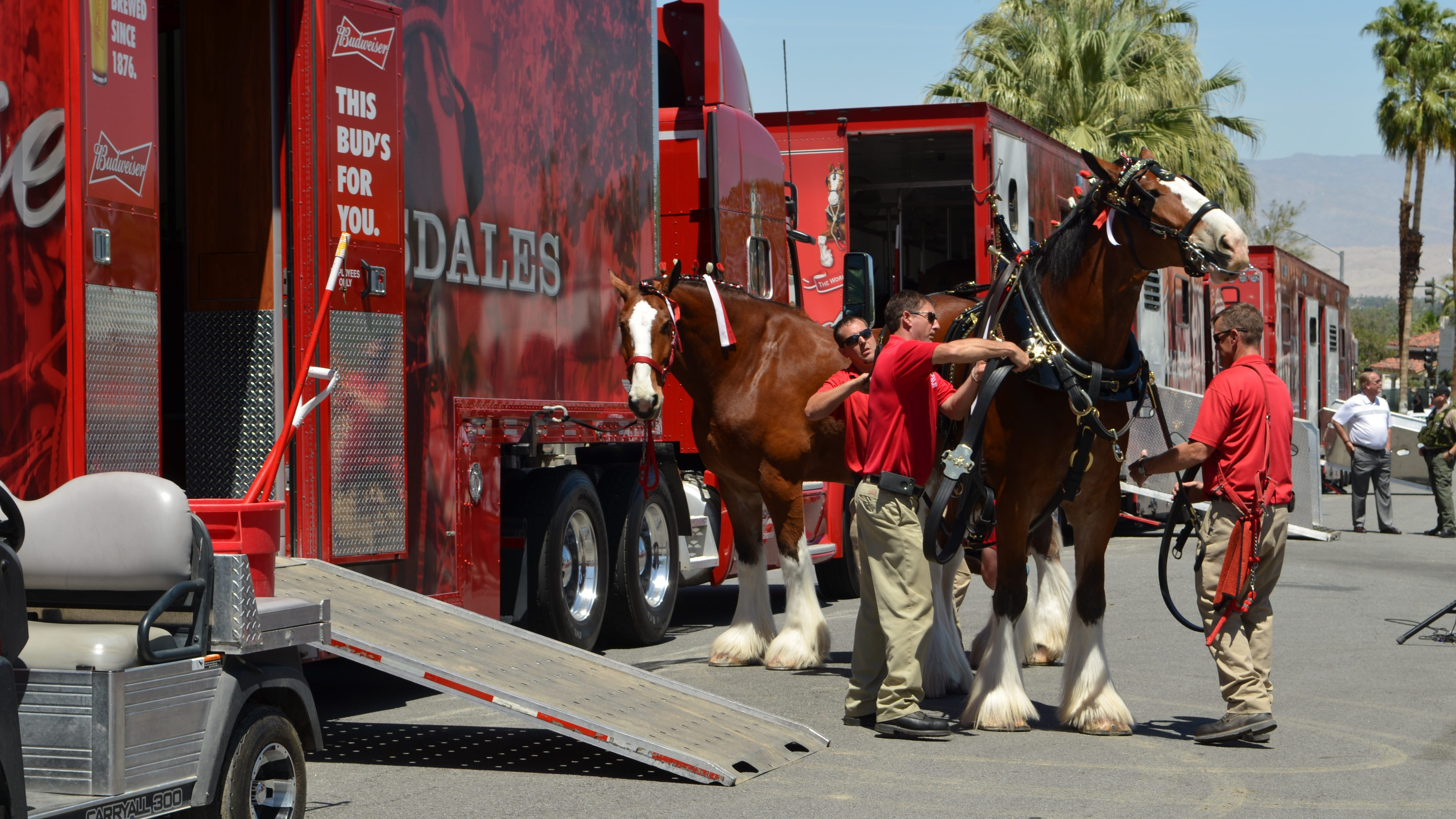 Budweiser Clydesdales make their way to Stagecoach festival