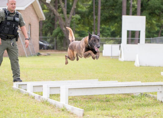 Santa Rosa County Sheriff's Office Deputy Danny Miller looks on as K-9 Orkon leaps over the broad jump obstacle at the Sheriff's Office in Milton on April 24.