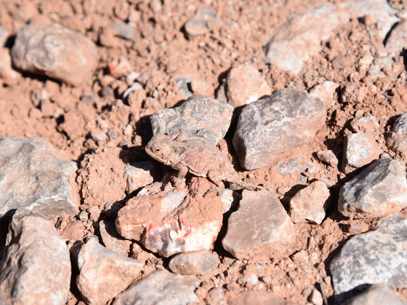 Look closely: A baby horned lizard blends in with the rocks.