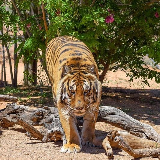 Tiger mauls executive director of Arizona wildlife sanctuary