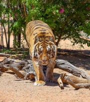 Bowie, an 11-year-old Bengal tiger housed at Keepers of the Wild in Northern Arizona.