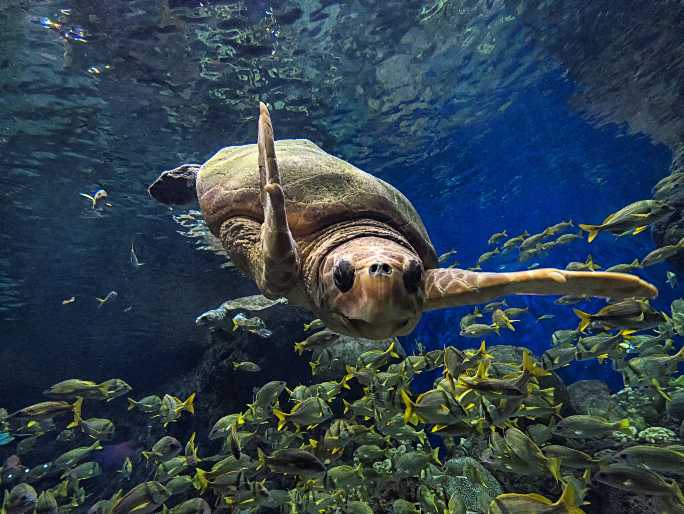 Green sea turtles (like the one pictured here) are part of SeaWorld San Diego's Turtle Reef.