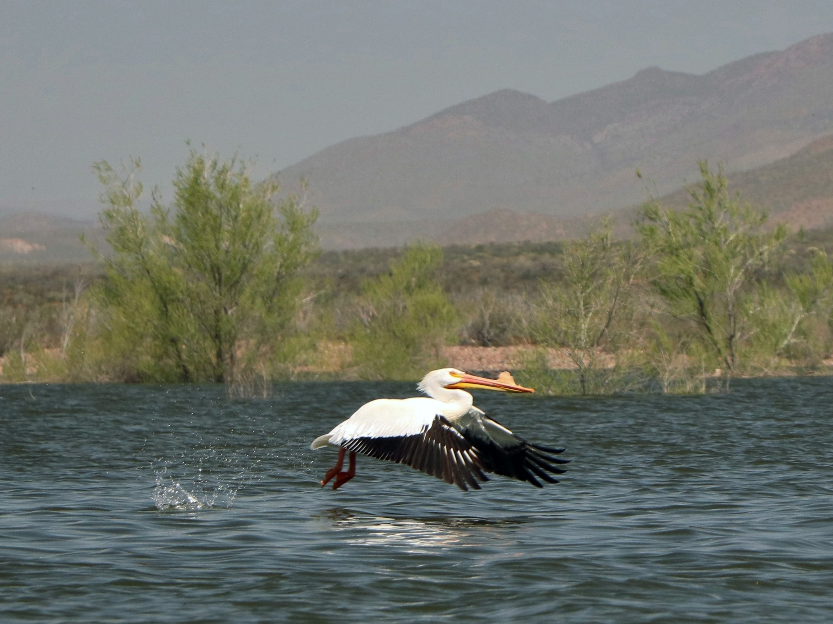 An American white pelican enjoying the warmth of an Arizona spring day at the lake.