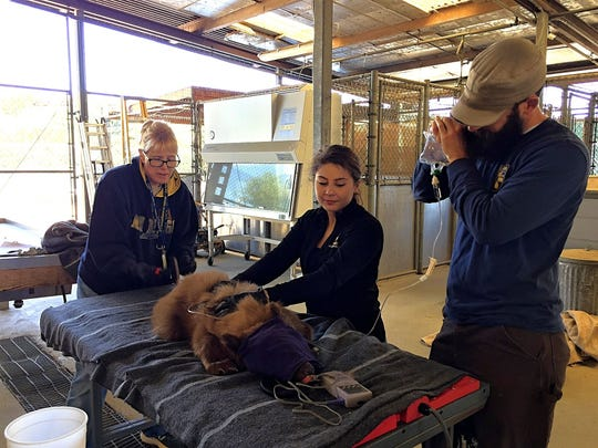 Senior environmental scientist Lora Konde, left, scientific aide Nadia Javeed and veterinary resident Andrew Di Salvo of California Department of Fish and Wildlife give the immobilized black bear cub fluids and monitor it during an exam at the Wildlife Investigations Lab in Rancho Cordova.