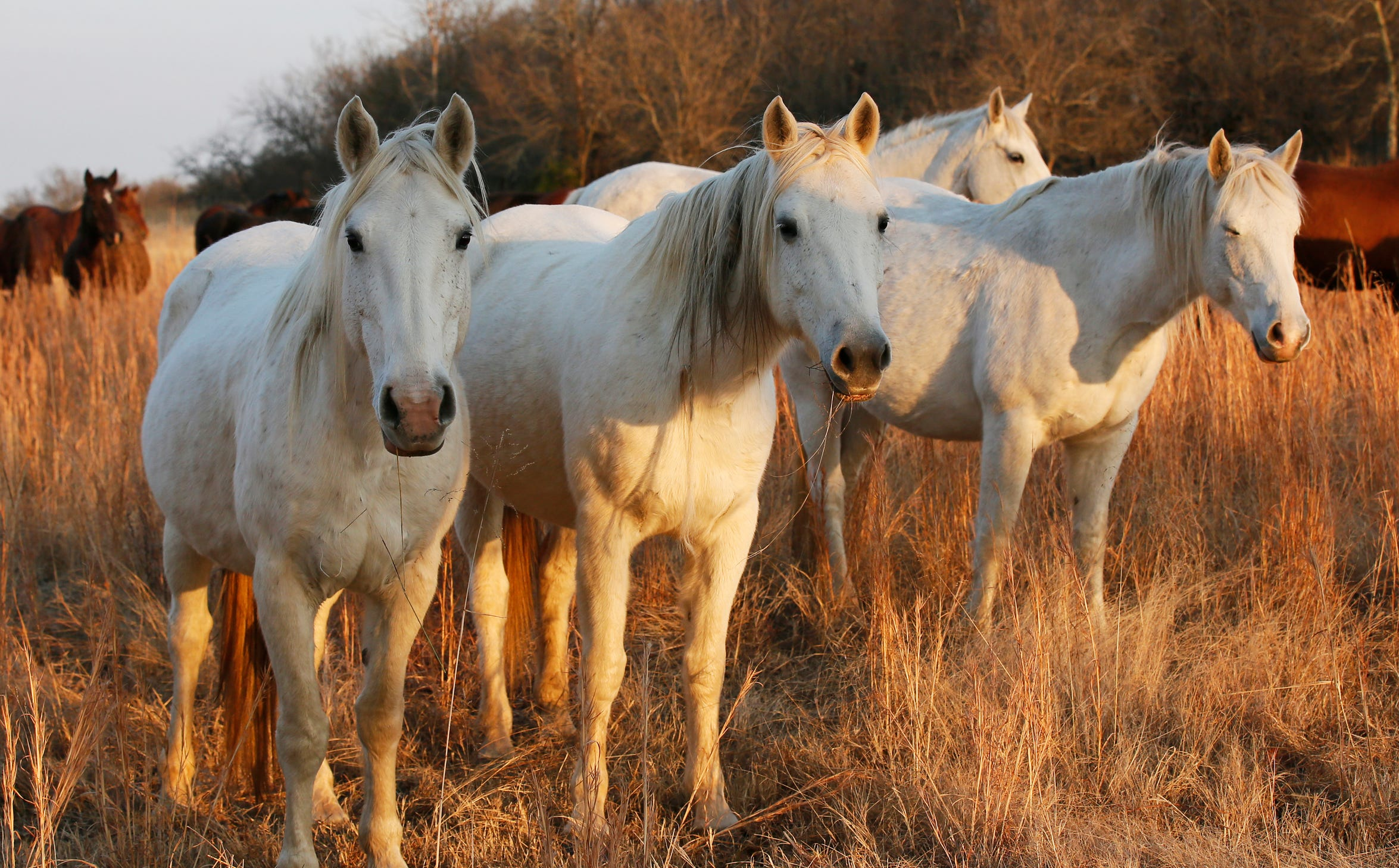 In this Dec. 13, 2017 file photo wild horses gather in a pasture at sunset at the Mowdy Ranch Ecosanctuary near Coalgate, Okla.