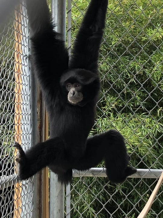 Dickerson Park Zoo welcomes Sebastian the siamang to Springfield.
