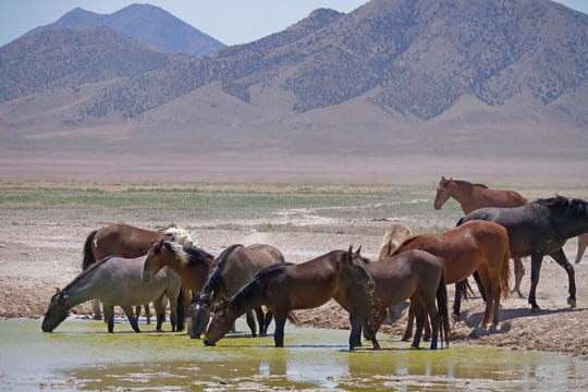 Wild horses drink from a watering hole outside Salt Lake City, Utah in this file photo from June 29, 2018.