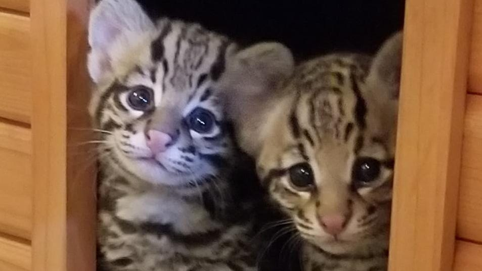 The El Paso Zoo celebrates birth of a purr-fect pair of ocelots