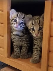 The El Paso Zoo is happy to announce the birth of two baby ocelots.