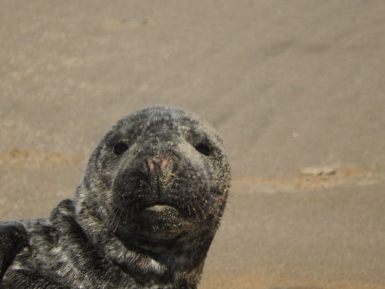 The MERR Institute rescued this male gray seal pup. He had an infected wound on one of his flippers.