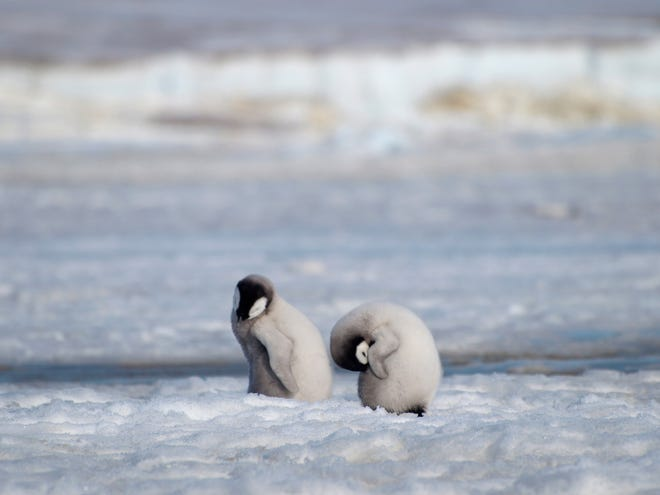 This 2010 photo provided by the British Antarctic Survey shows emperor penguin chicks at Antarctica's Halley Bay.