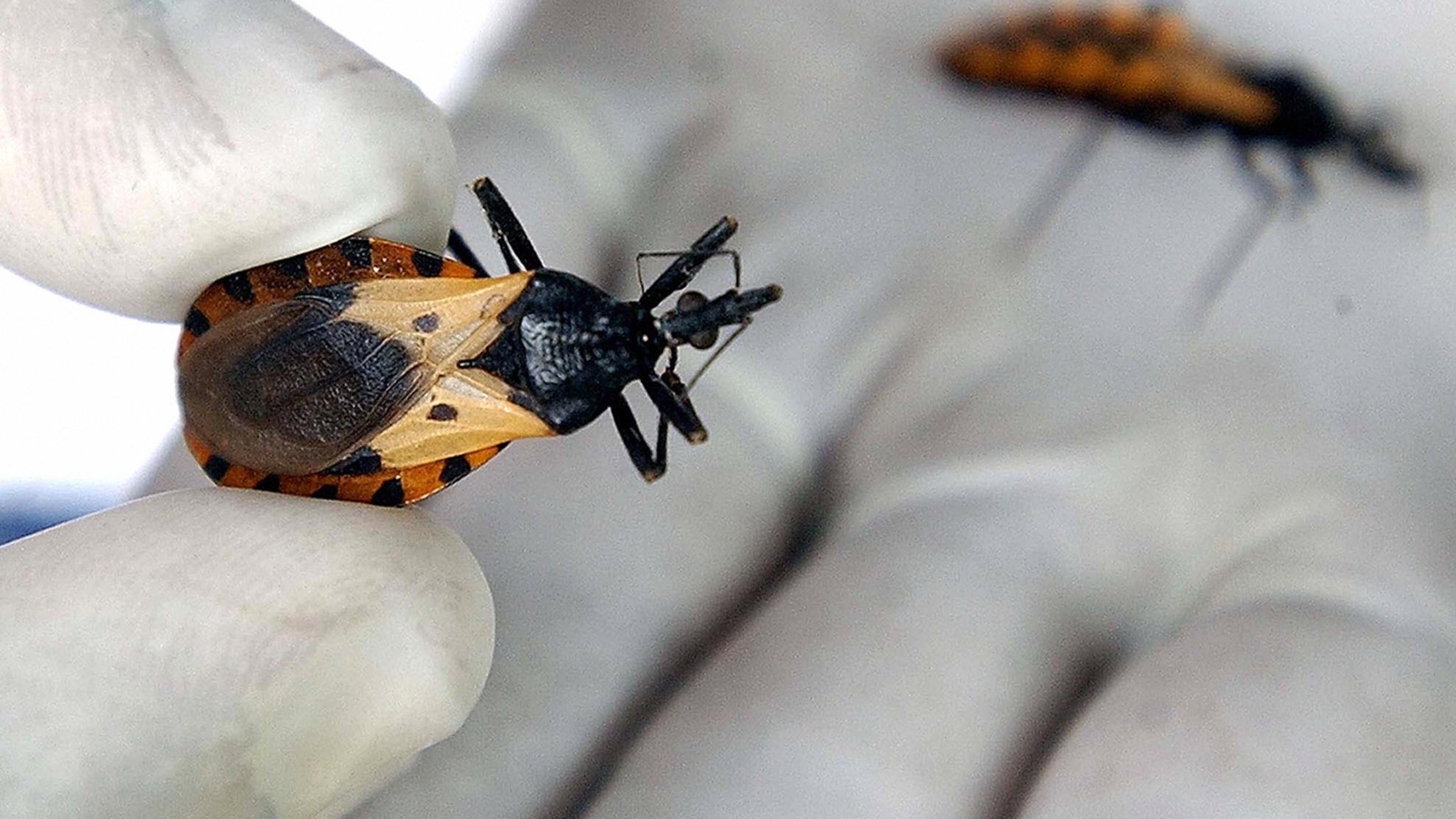 Kissing bugs,' Chagas disease: What to know about blood