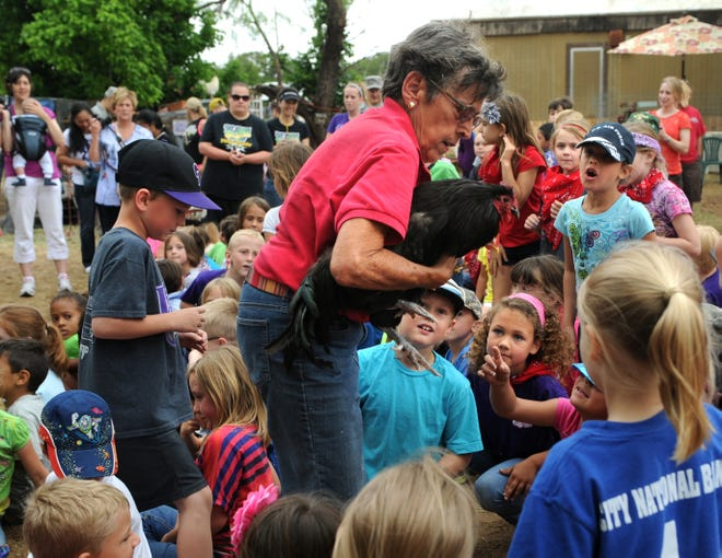 Brenda May rescues stray chickens from the midst of Wylie students on a field trip to the May Farm near Hawley in May 2013.