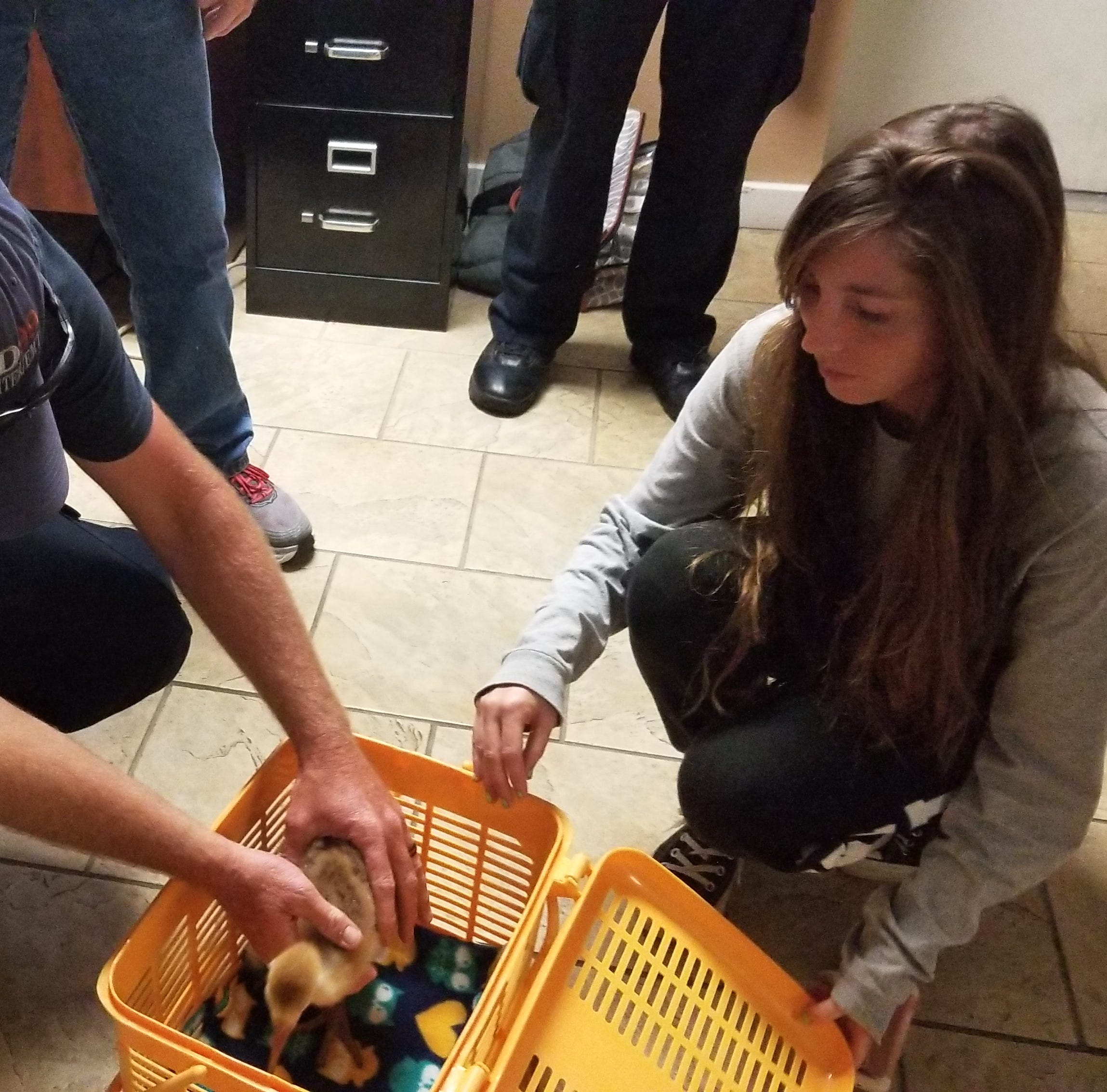 Baby sandhill crane rescued after hit-and-run kills parents in Malabar; taken to Fort Pierce sanctuary