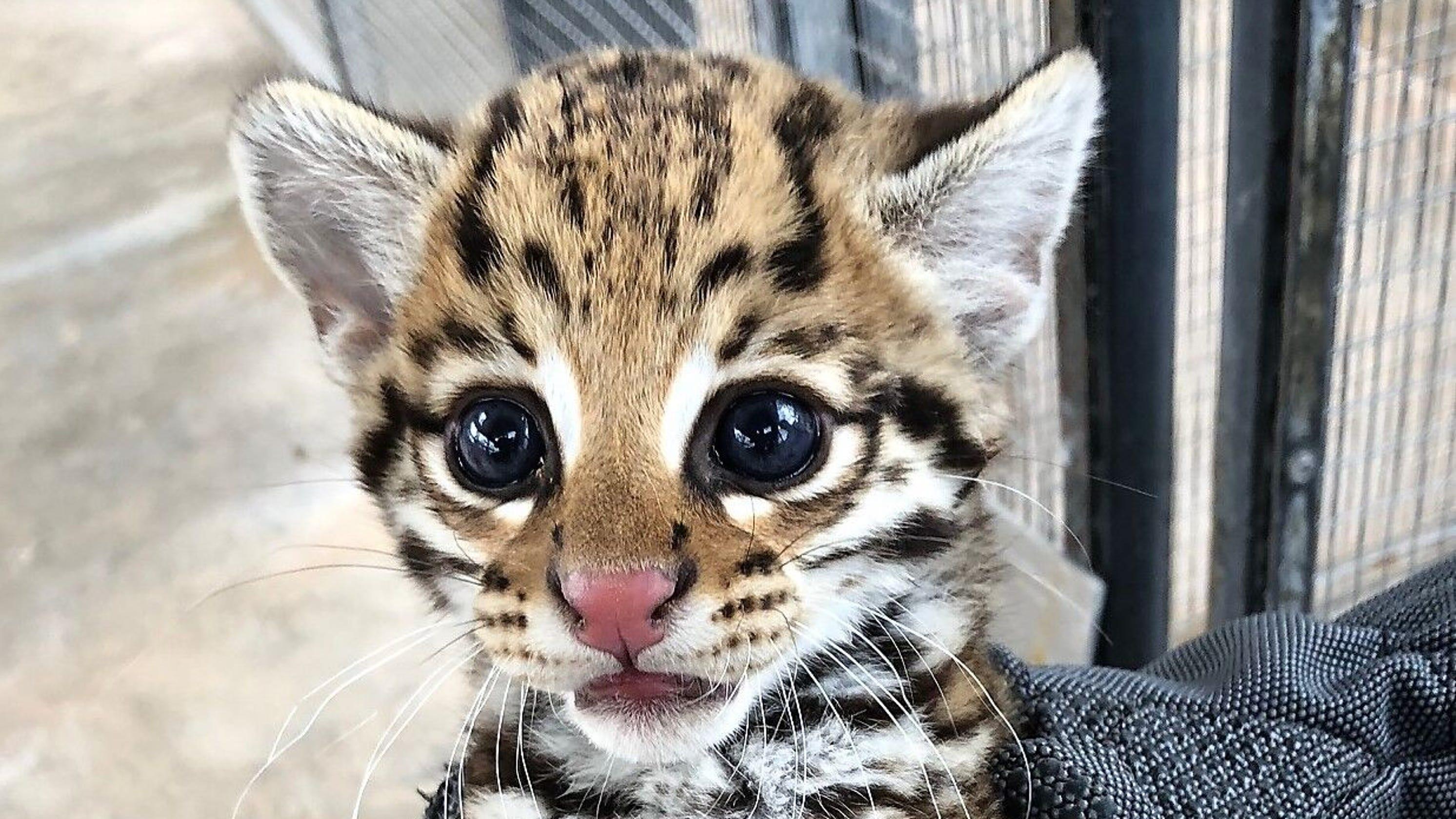 Cincinnati Zoo Scientist Artificial Insemination To Thank