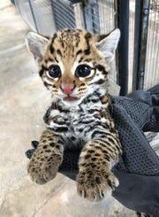 The Cincinnati Zoo has produced two litters of ocelot kittens following artificial insemination with frozen semen