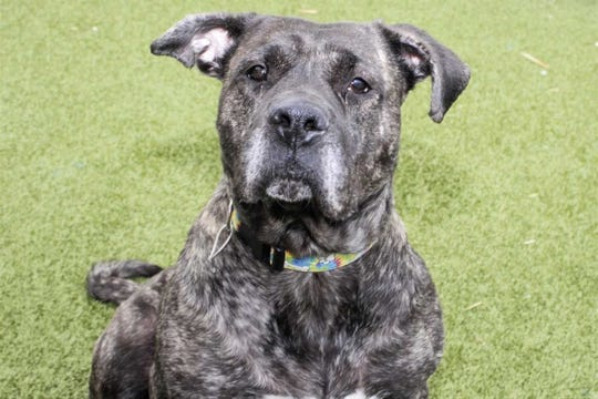 Gina, one of the dogs recovered from a home in West Bloomfield Township, is being cared for by the Oakland County Animal Control & Pet Adoption Center while an animal cruelty/neglect case is pending.